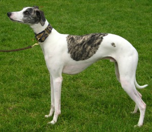 Picure of an actual whippet