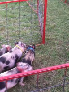Definitely pigs